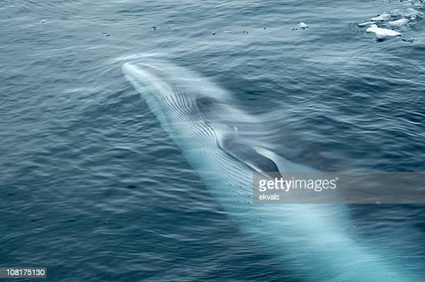 Minke Whale Swimming in Ocean