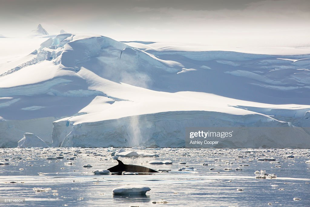 Minke Whales(Balaenoptera acutorostrata) feeding in the Gerlache Strait separating the Palmer Archipelago from the Antarctic Peninsular off Anvers Island. The Antartic Peninsular is one of the fastest warming areas of the planet.