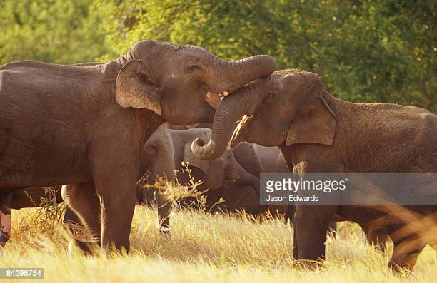 Endangered Asian Elephants playing with each others trunks.