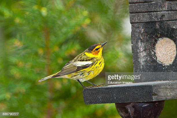 Minnesota Mendota Heights Cape May Warbler perched on Jelly and suet feeder