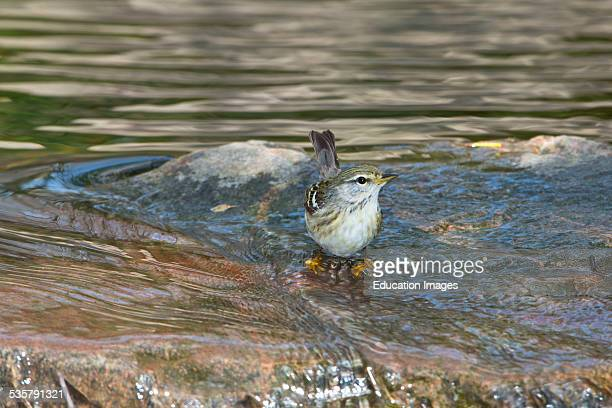 Minnesota Mendota Heights Female Blackpoll Warbler