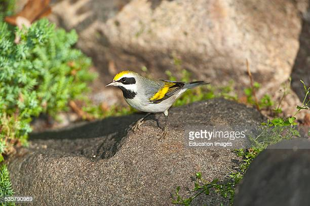 Minnesota Mendota Heights Male Goldenwinged Warbler perched on a rock