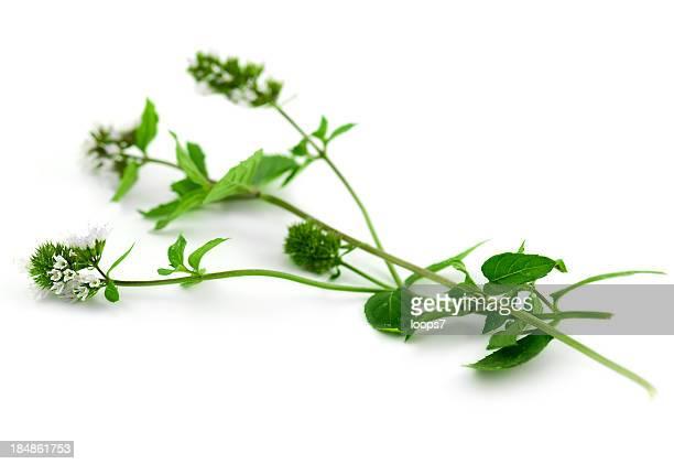 mint branch