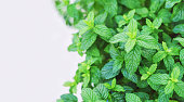 Green Mint leaf background with copy space