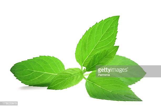Minze-Blätter, isoliert auf weiss