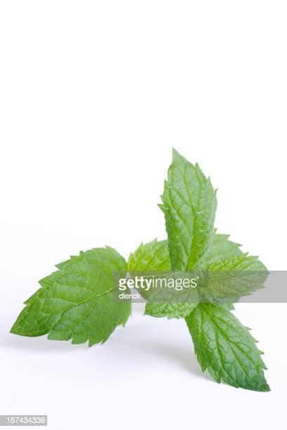 mint leaves on stem