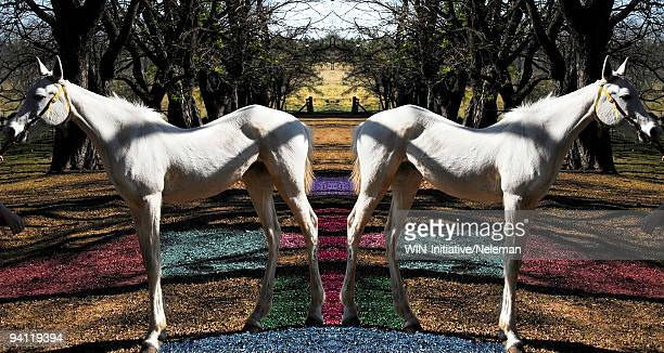 Mirror image of a horse standing in the field, Argentina
