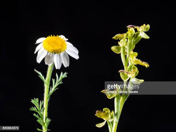 Mirror Orchid (Ophrys speculum) on daisy flower, Valencia, Spain
