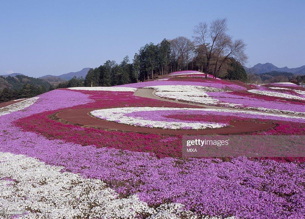 Misato Shibazakura Park, Takasaki, Gunma, Japan