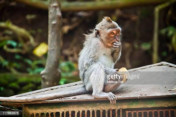 Mischevious monkey at Ubud Monkey Forest in Bali