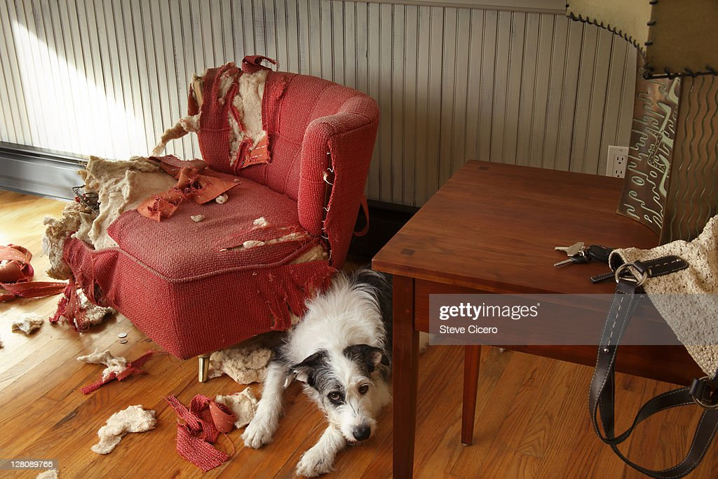 Mischievous dog sitting next torn furniture : Stock Photo