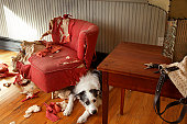 Mischievous dog sitting next torn furniture