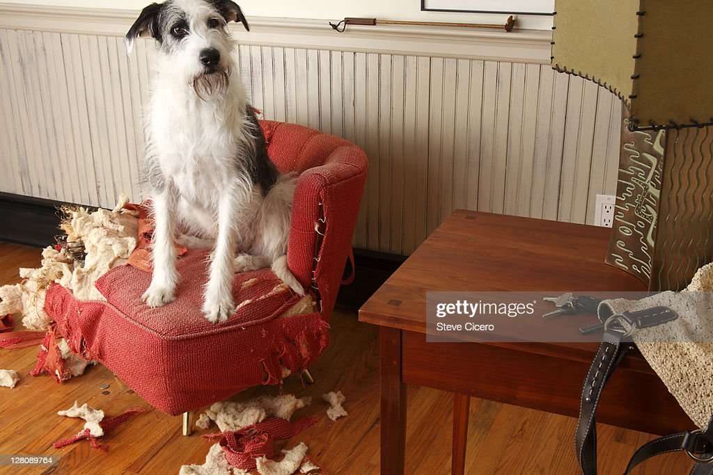 Mischievous dog sitting on torn furniture : Stock Photo