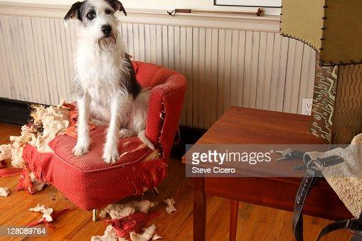 Mischievous dog sitting on torn furniture : Stock Photo