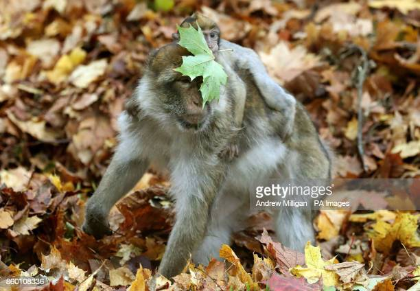Mischievous Macaque monkeys play havoc with Autumn leaves at Blair Drummond Safari Park as groundsman Callum Hunter rakes up fallen leaves into bags...
