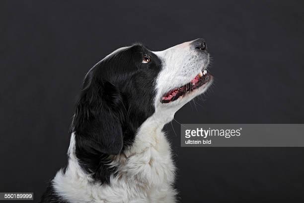 Mischling Mix aus Border Collie Berner Sennenhund und Golden Retriever Hund Hündin Porträt Hunderasse