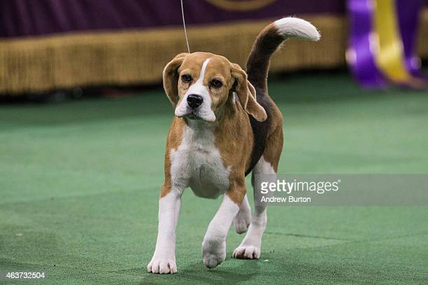 Miss P a 15 inch beagle from the hound group is shown by William Alexander before winning the Best in Show award of the Westminster Kennel Club dog...