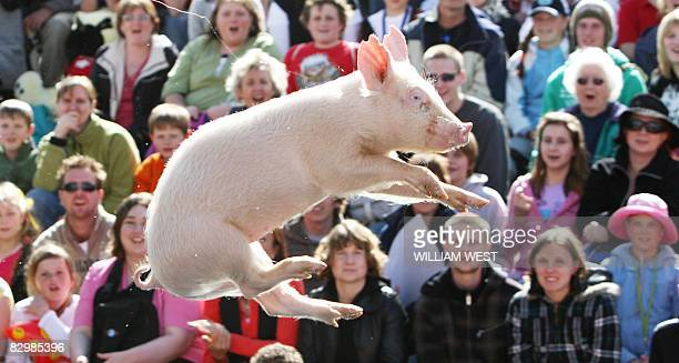 Miss Porky Pig sails through the air as she prepares to land in the water as part of the racing and diving pig show which is on exhibition the the...
