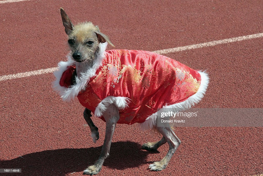 Miss Tilly, Hairless Chinese Crested, attends the Woofin Paws pet fashion show at Carey Field on March 30, 2013 in Ocean City, New Jersey.