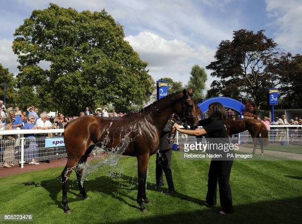 Miss Whippy is cooled down in the winning enclosure after winning The Summer Celebration With Go West 29th August Selling Stakes at Windsor Racecourse