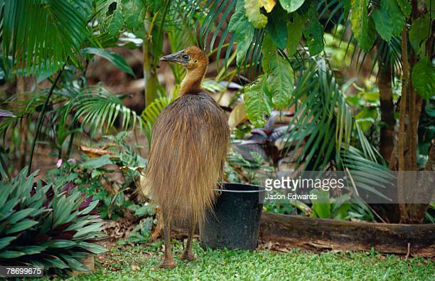 An abandoned endangered Cassowary chick searches for food in a garden.