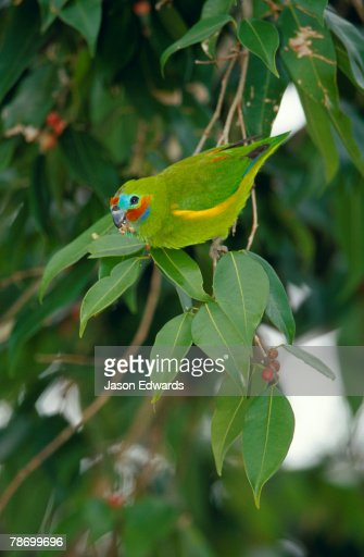 A brightly colored vulnerable Double-eyed Fig Parrot feeding on figs.