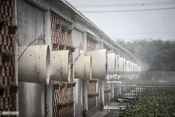 A mist containing disinfectant and deodorizing solution sprays outward as fans ventilate a building housing pig pens at the Jia Hua antibioticfree...