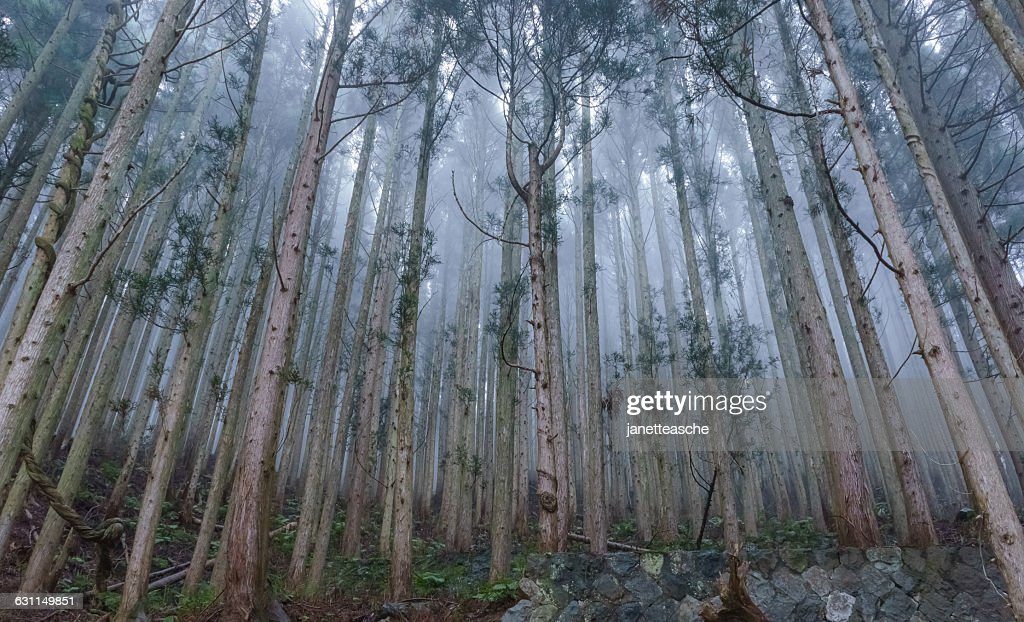 Mist in the Japanese cedar forest, Jigokudani Monkey Park, Nagano, Japan