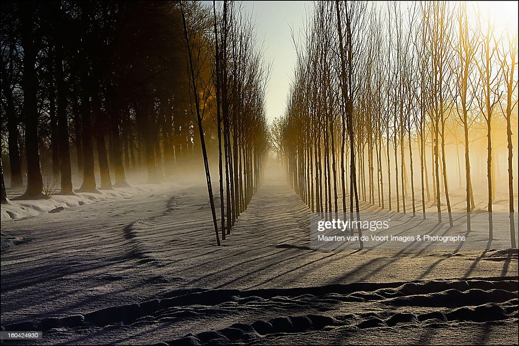 Mist on the treefarm : Stock Photo