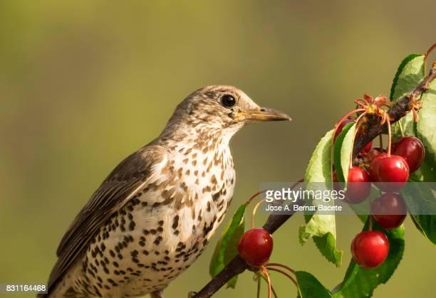 Mistle Thrush (Turdus viscivorus) , grasped the branch of a tree (cherry tree), eating cherries. . Spain, Europe.