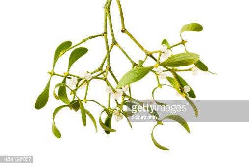 mistletoe branch : Stock Photo
