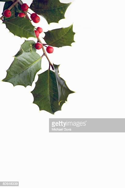 mistletoe holly on white background