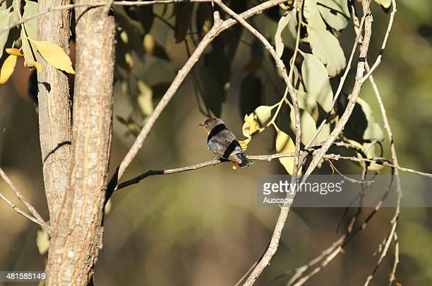 Mistletoebird Dicaeum hirundinaceum male depositing mistletoe seeds in its droppings onto a branch to allow germination in these varied and...