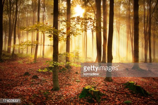 Misty Forest during Autumn : Stock Photo