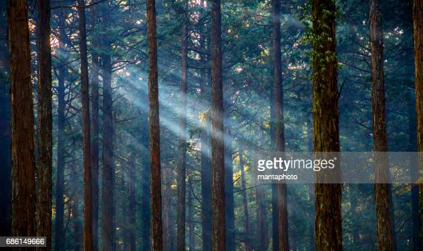 Misty forest with sunlight
