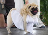 Misty May a pug dressed up as Marilyn Monroe walks the runway during the 9th Annual Pug Parade on February 25 2006 in Bradenton Florida Misty won for...
