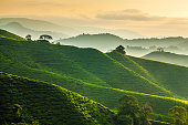 Misty morning at Cameron Highlands tea plantation overlooking layered hills