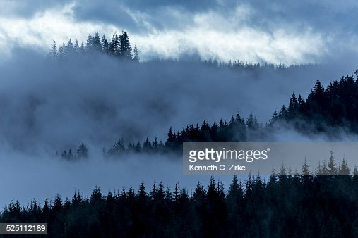 Misty Oregon pines : Stock Photo