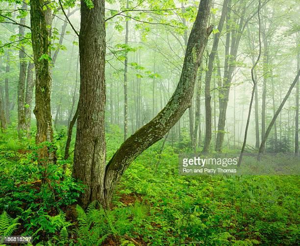 Nebligen Frühling Wald im Vermont