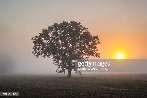 Misty tree at sunrise, Broadway, The Cotswolds, Gloucestershire, England, United Kingdom, Europe