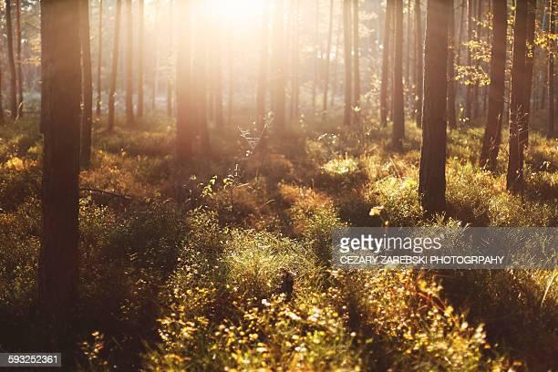 Misty woodland in sunshine