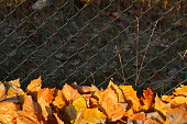 mit Raureif überzogenes verfärbtes Herbstlaub, Drahtzaun