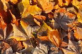 mit Raureif überzogenes verfärbtes Herbstlaub, Wiese