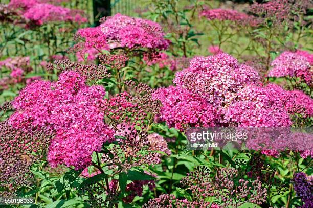 Mit rosa bis dunkelrosa Schirmrispen blüht der anspruchslose Spierstrauch Spiraea japonica