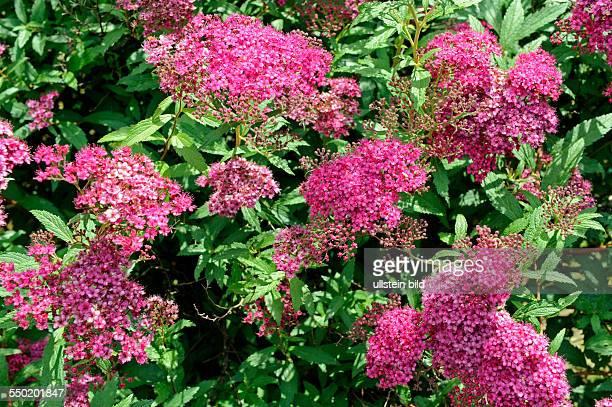 Mit rosa bis dunkelrosa Schirmrispen blüht der Spierstrauch Spiraea japonica