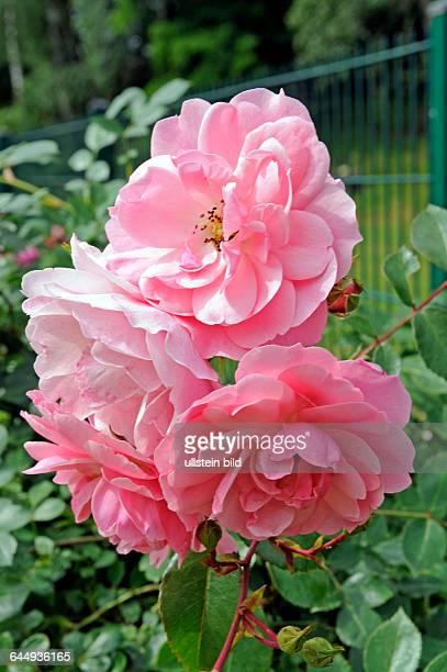 Mit zartrosa Blueten verzaubert die oefterbluehende Strauch und Hochstammrose Rosa Bonica82 eine MeidilandRose vom Fruehsommer bis Spaetherbst
