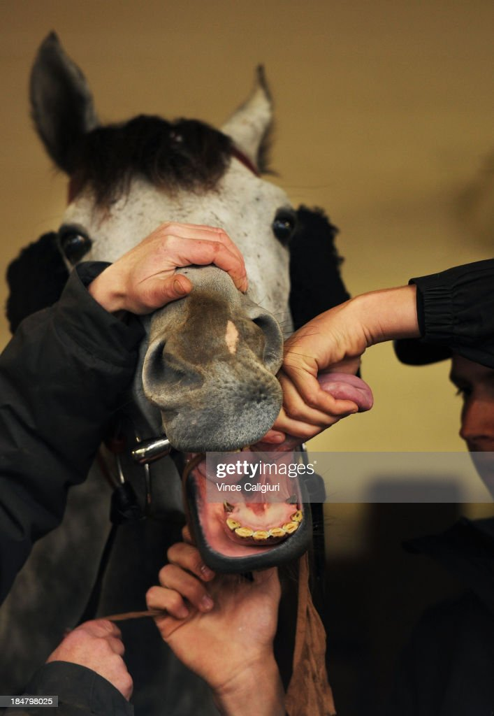 Mitch Freedman applying a tongue tie on Puissance De Lune before a trackwork session at Moonee Valley Racecourse on October 17, 2013 in Melbourne, Australia.
