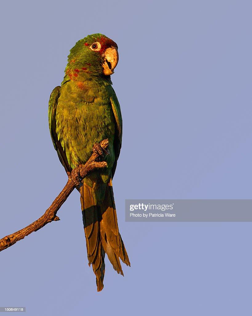 Mitred Parakeet : Stock Photo