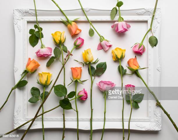 A mix of different colour roses scattered within a white picture frame on a white background
