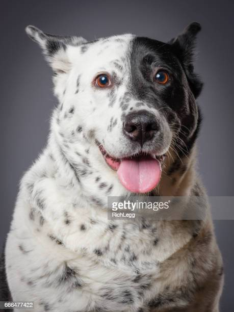 Mixed Breed Australian Shepherd Blue Heeler Dog